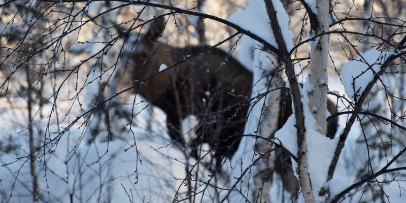 Close encounter with moose
